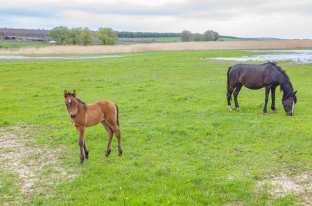 Mare with foal grazing on the green meadow