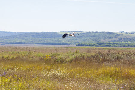 the stork flies low above the ground 版權商用圖片