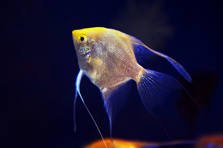 Pterophyllum Scalare in deep water, blue angelfish Reklamní fotografie
