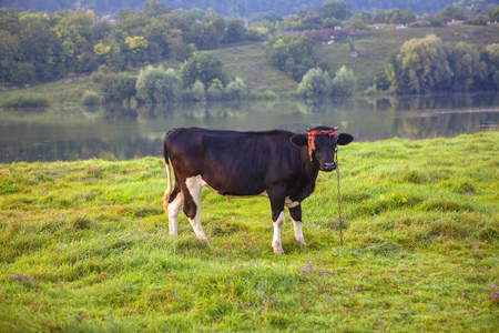 domestic black cow standing on the green meadow