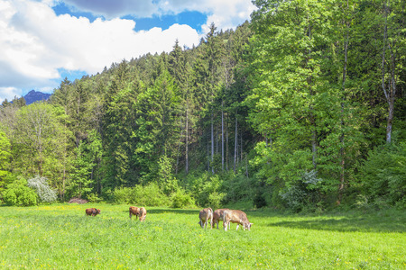 calves grazing on the meadow near mountains Reklamní fotografie