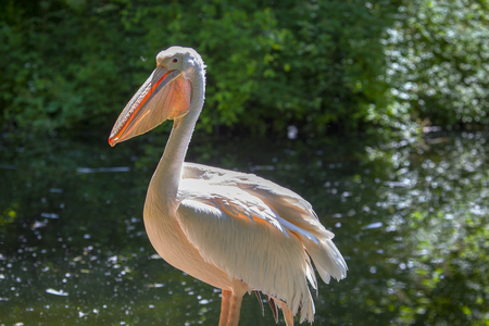 portrait of a pelican in natural area