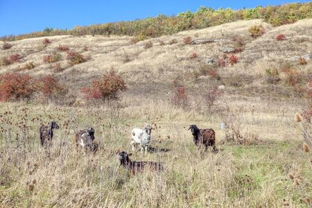 group of goats on the meadow in autumn
