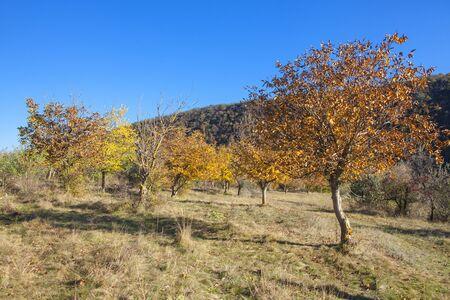 walnut trees in autumn season