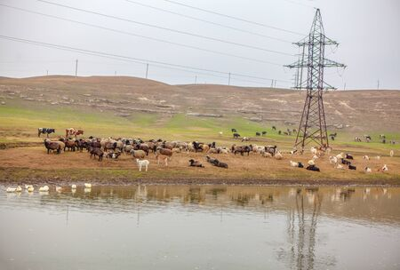rural scenery with herd of sheep on the river shore