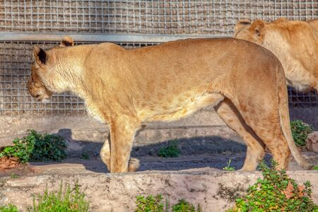 young lioness in a cage 版權商用圖片