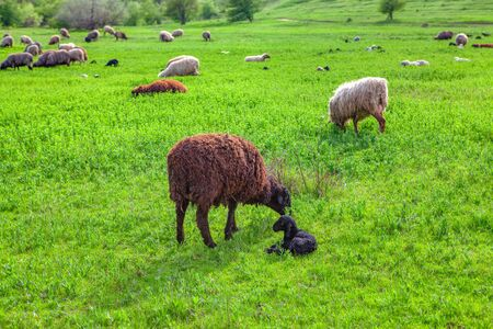 sheep with newborn lamb on the green meadow