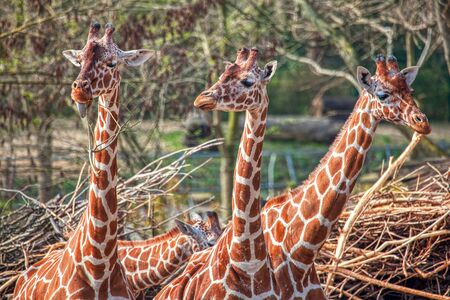 group of giraffe standing together Banco de Imagens