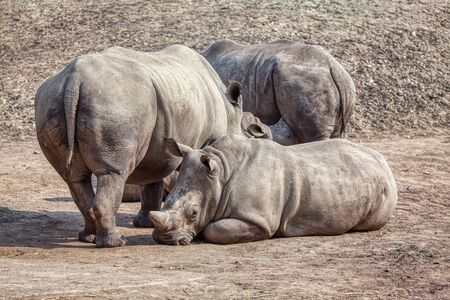 rhinos stand together in the natural area Banco de Imagens