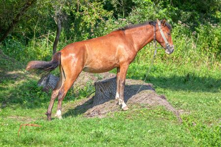 red domestic horse standing on the meadow Banco de Imagens