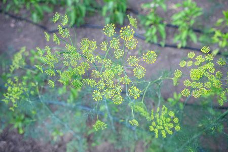 fresh dill growing in the garden