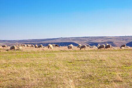 herd of sheep grazing in the summer Imagens