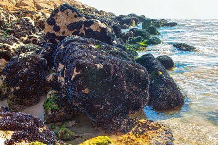 mollusks on the coastal rocks