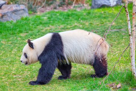 walking panda on green natural area