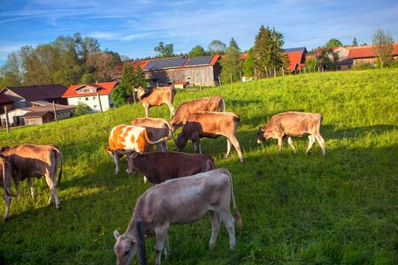 herd of cows on the farmland