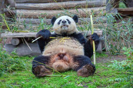 cute and hungry panda eating bamboo