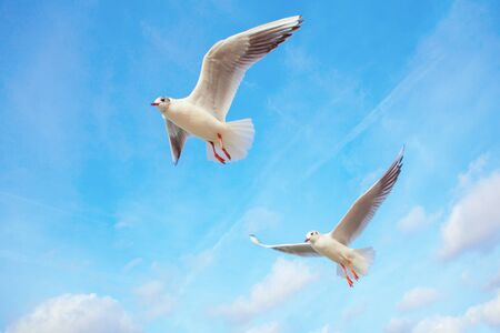 seagulls planing with spread wings