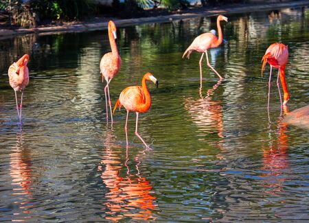 flock of flamingo standing in the lake water