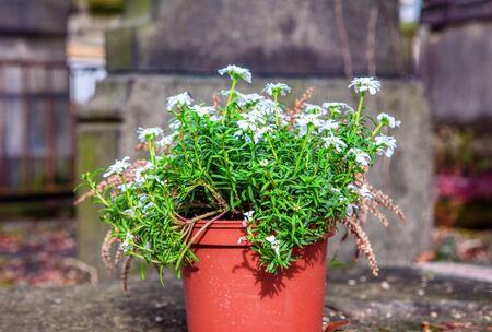 flowers in a flowerpot on a cemetery 版權商用圖片