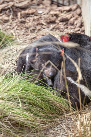 Tasmanian devil carnivorous marsupial of the family Dasyuridae 스톡 콘텐츠 - 132058500