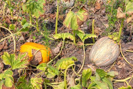 garden with pumpkins in the fall season