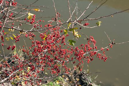 bush with red berries growing on the river shore Stok Fotoğraf