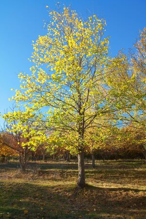 beautiful autumn day , tree with yellow leaves