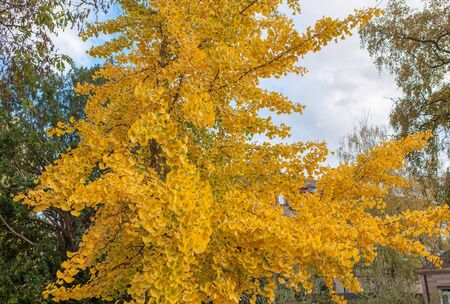 yellow branches in the autumn