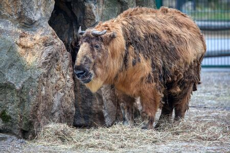 Big and beautiful bison in the zoo 스톡 콘텐츠