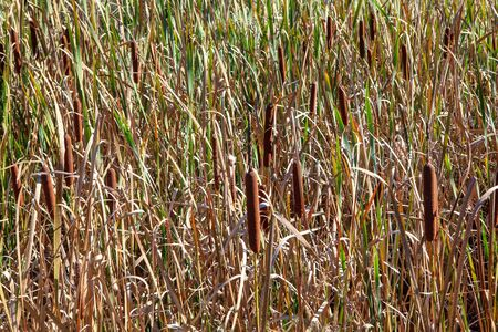 background of dry reed on the swamp