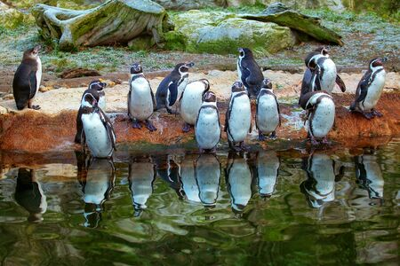 Peruvian Penguins colony standing on the water edge