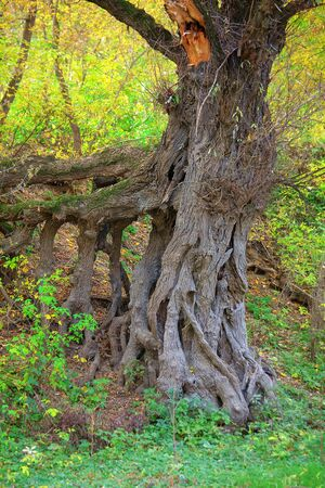 powerful roots of old tree