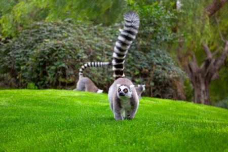 cute lemur with raised tail walking on the lawn Imagens