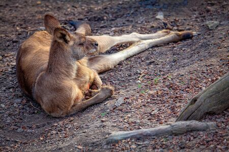 lazy kangaroo lying on the ground