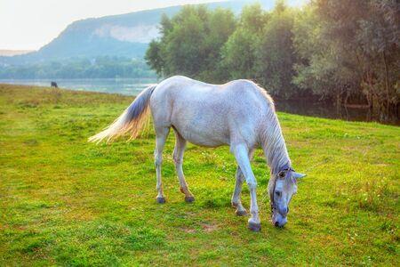 white mare grazing grass on the river shore