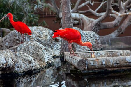 feeding of exotic red ibis