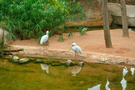 Spoonbill birds standing at the lake shore Banco de Imagens