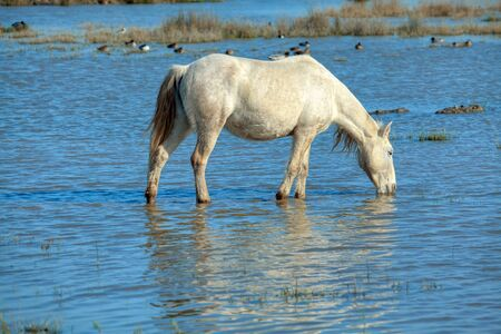 white wild mare standing in the water
