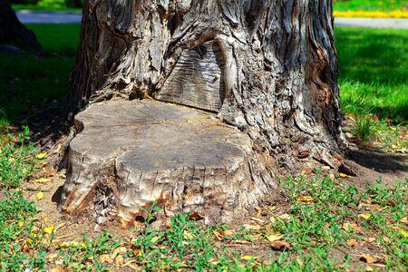 felled stump , part of cut trunk