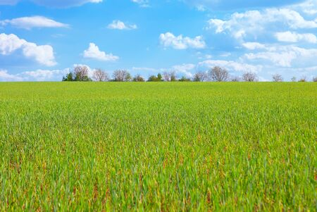 green agricultural field with barley