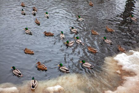 flock of waterfowl birds in the winter