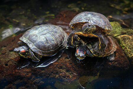 Bog Turtles Standing at Natural Area Imagens