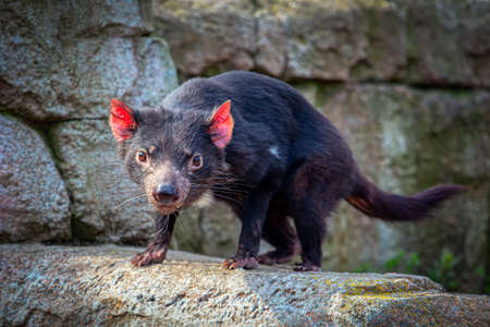 Portrait of Furious Tasmanian Devil . The largest carnivorous marsupials in the world