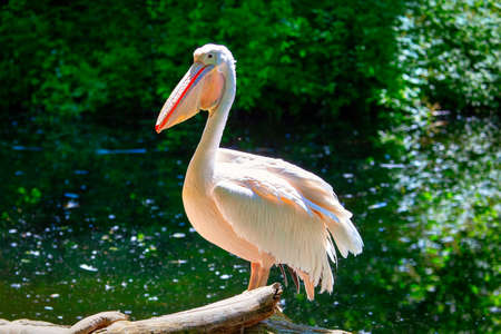 Great White Pelican into the Wild