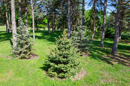 Fir Trees in the Summer Park . Small and Tall Pines Scenery 写真素材