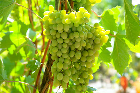 Grapes for wine production . Cultivation and Harvesting  Grapes 写真素材