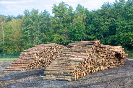 Pine timber logs . Pile of cut pine tree logs in a forest. Industrial destruction