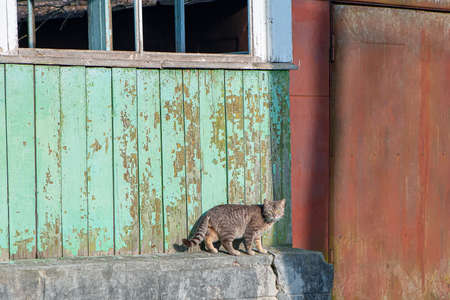 Grey country cat lives in an abandoned house . Street animal
