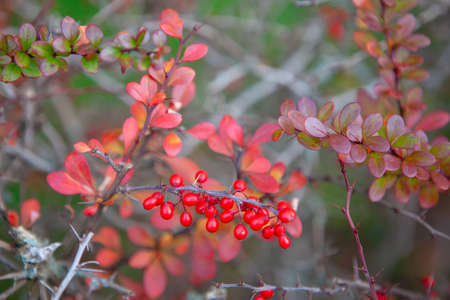 Bush with red berries and thorns in autumn