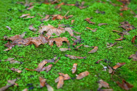 Dry Maple Leaves on the Green Grass . Autumn Natural Scenery  . Fall Season Rainy Weather